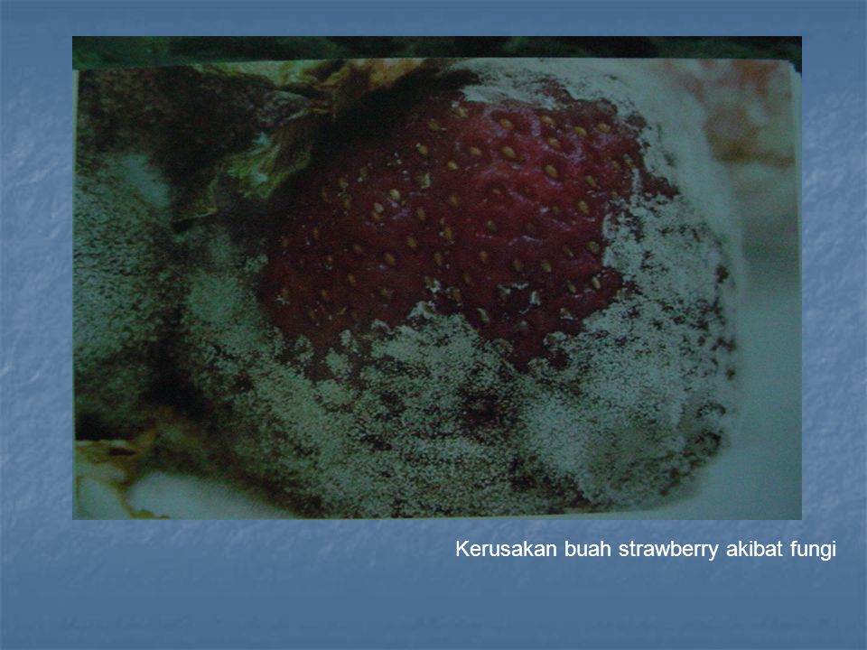 Kerusakan buah strawberry akibat fungi