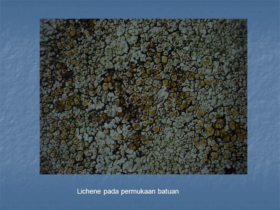 Lichene pada permukaan batuan