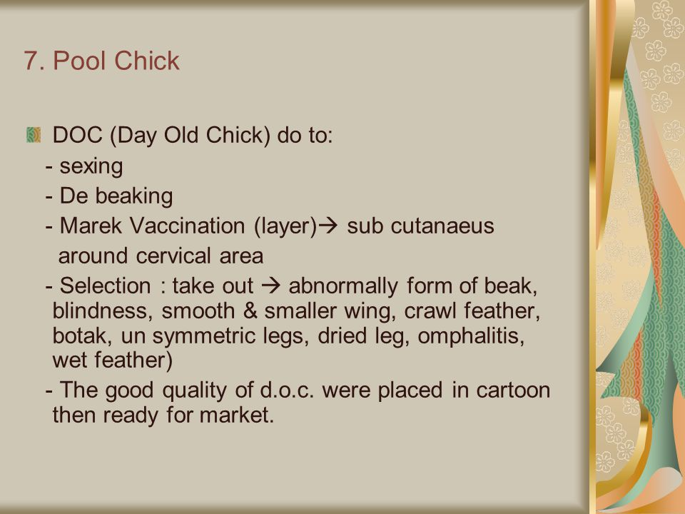 7. Pool Chick DOC (Day Old Chick) do to: - sexing - De beaking
