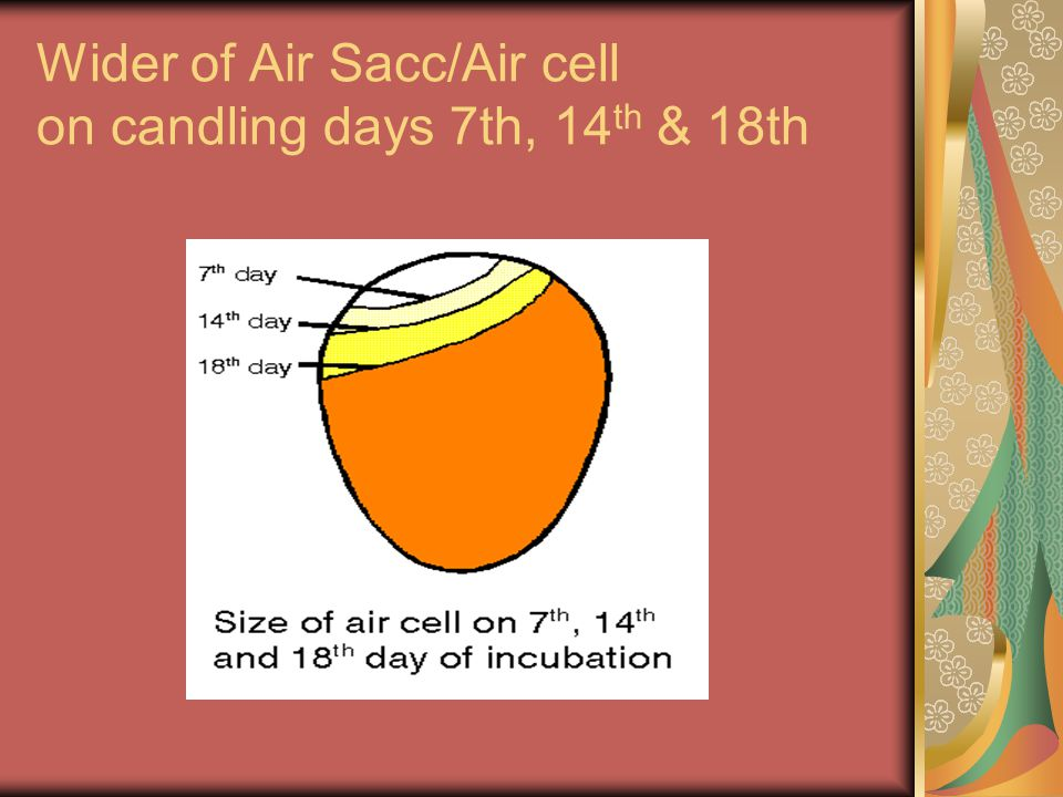 Wider of Air Sacc/Air cell on candling days 7th, 14th & 18th