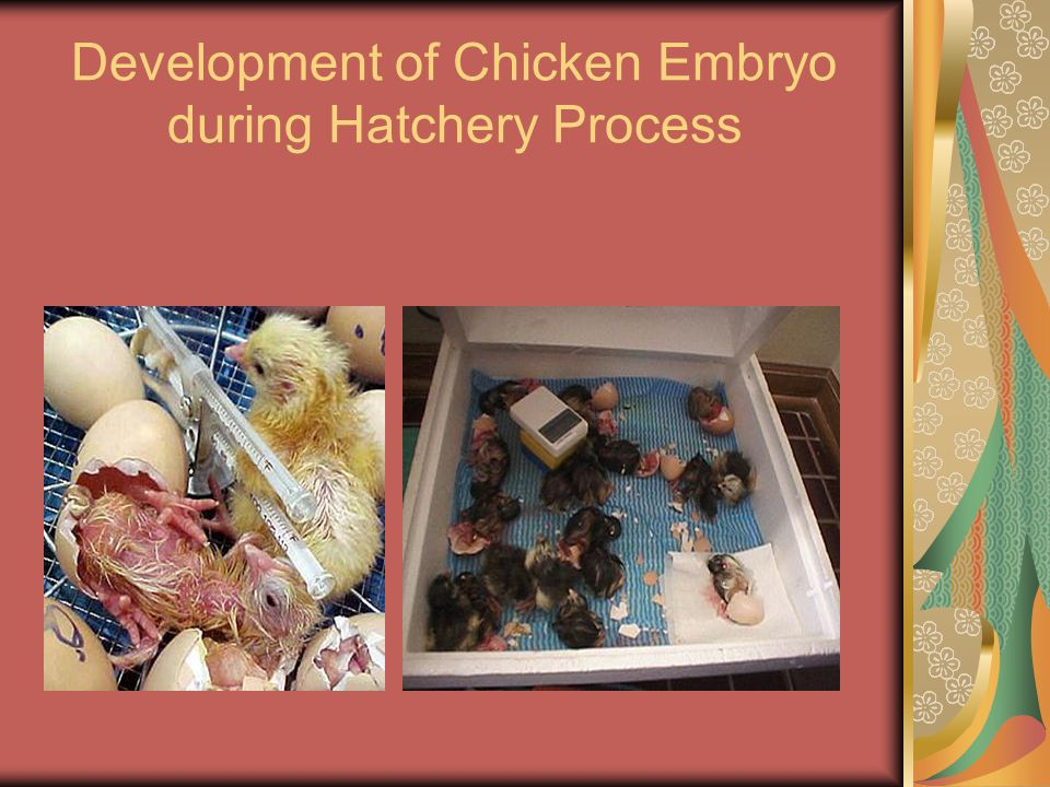Development of Chicken Embryo during Hatchery Process