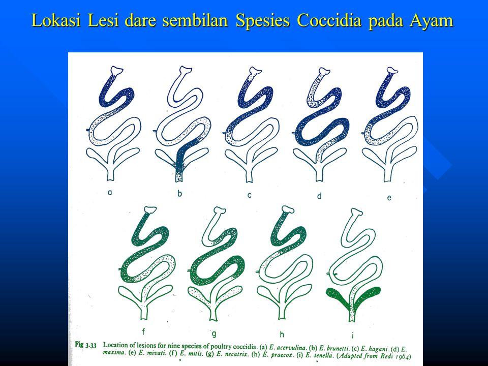Lokasi Lesi dare sembilan Spesies Coccidia pada Ayam