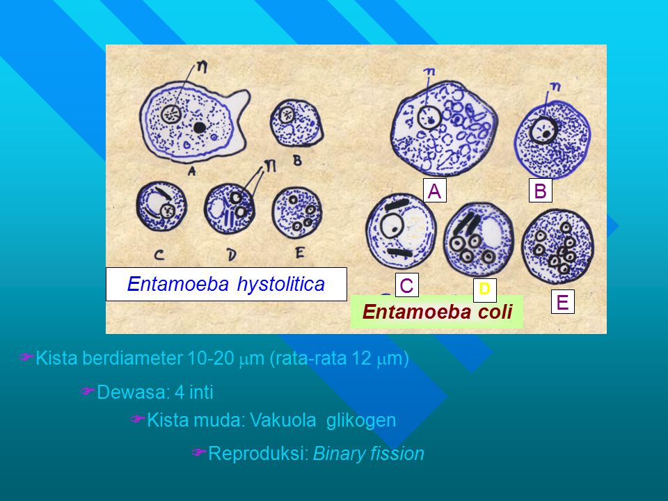 Entamoeba hystolitica