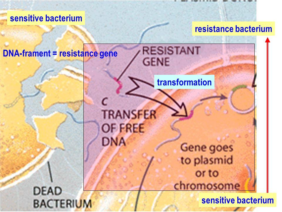 sensitive bacterium resistance bacterium. DNA-frament = resistance gene.