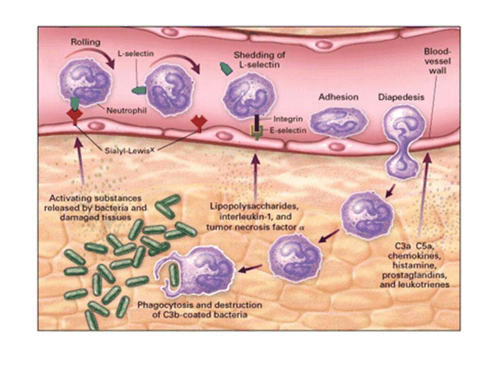 Figure 3. The Acute Inflammatory Response