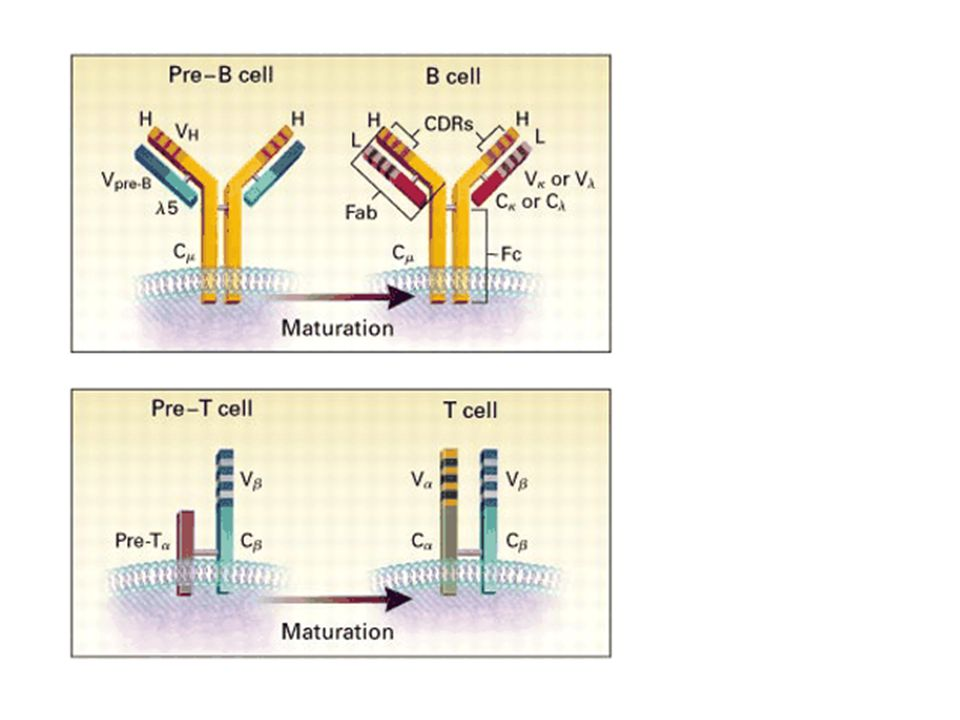 Figure 4. Structure of Immature and Mature B-Cell and T-Cell Antigen Receptors.