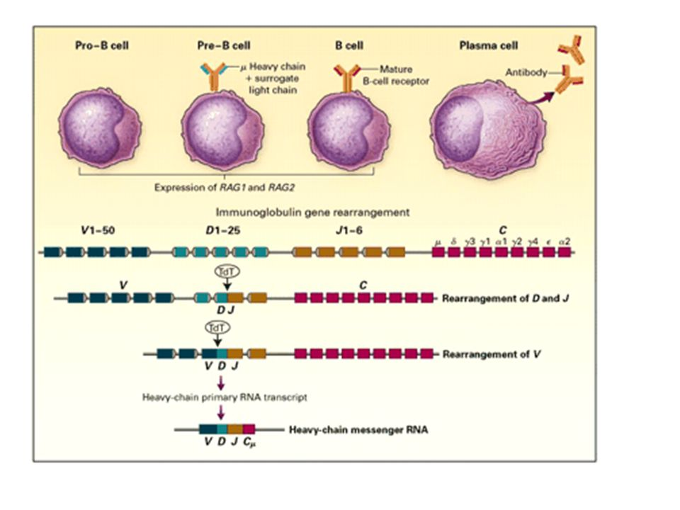 Figure 5. Diversity of Antigen Receptors