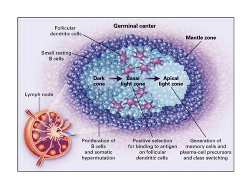 Figure 8. The Germinal Center