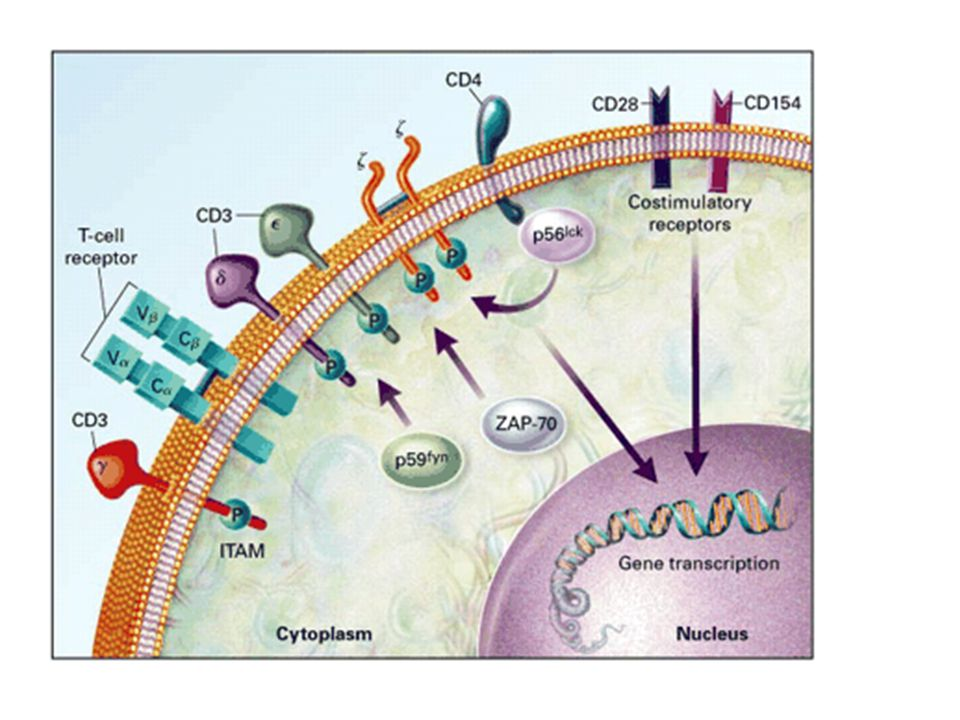 Figure 9. Activation of T Cells