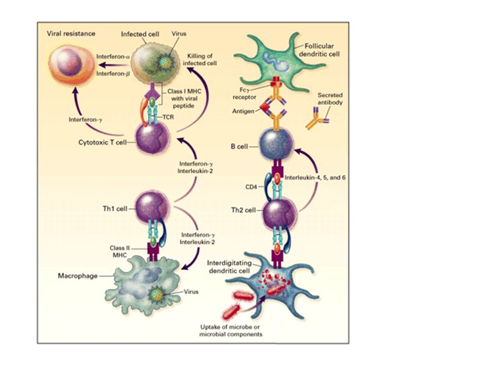 Figure 10. An Overview of Lymphocyte Responses