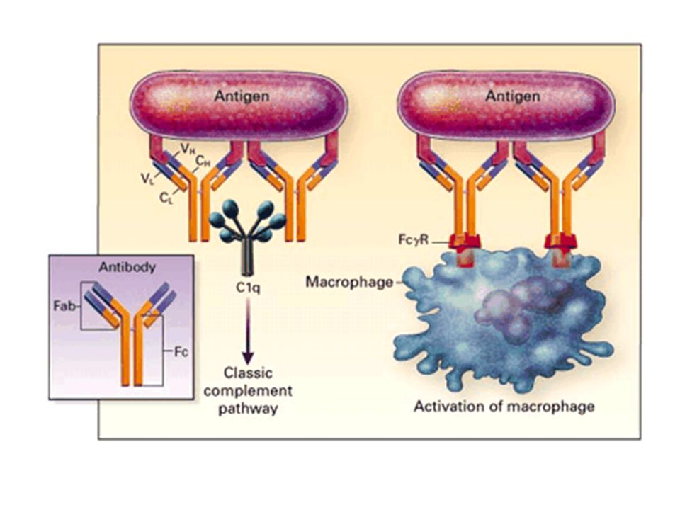 Figure 11. Role of Antibodies. Antibodies rarely act in isolation