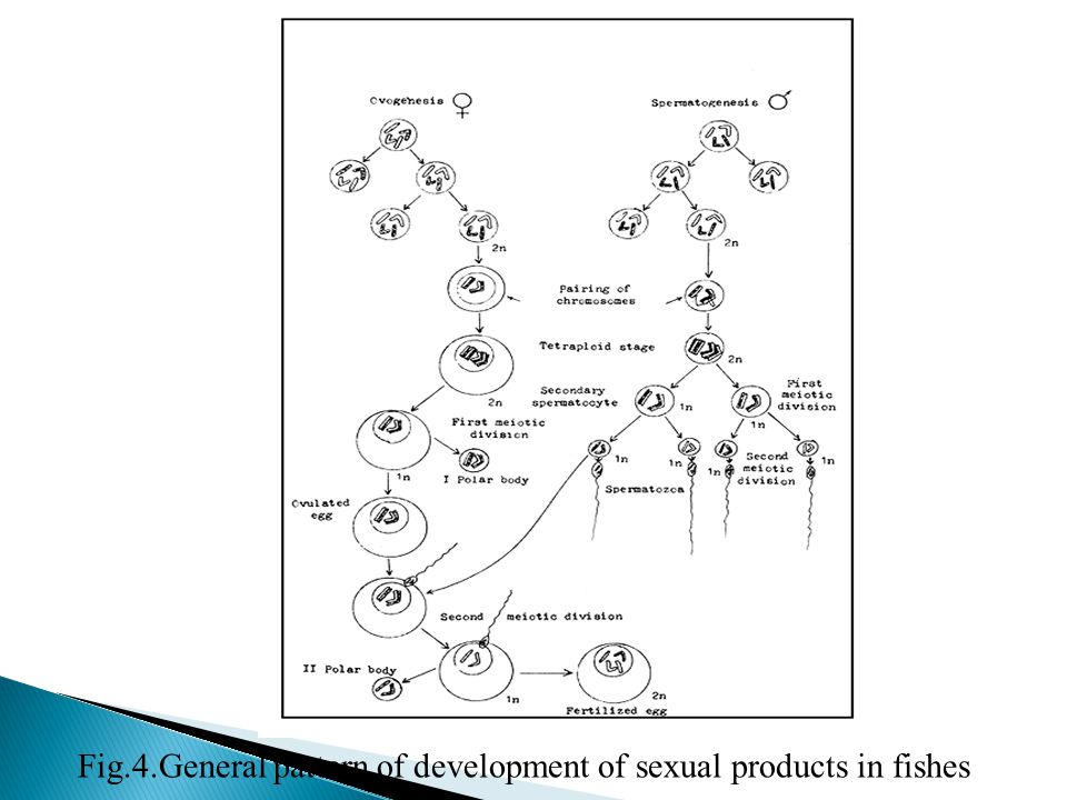Fig.4.General pattern of development of sexual products in fishes