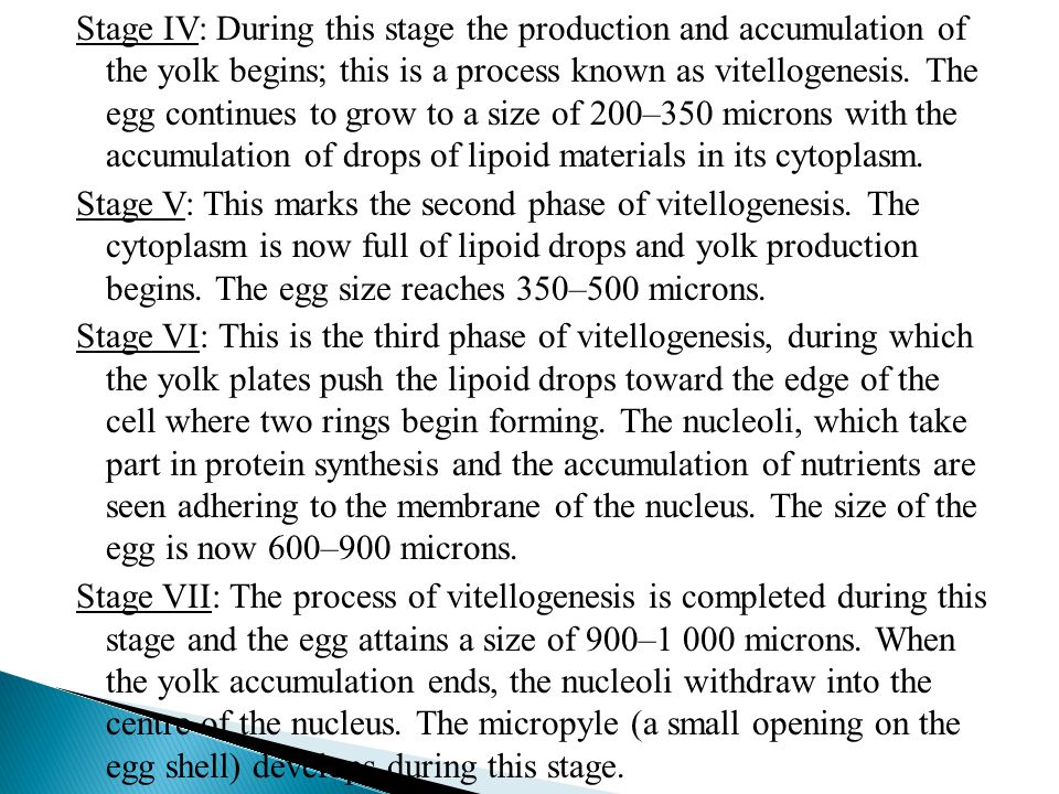 Stage IV: During this stage the production and accumulation of the yolk begins; this is a process known as vitellogenesis.