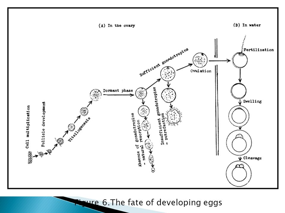 Figure 6.The fate of developing eggs