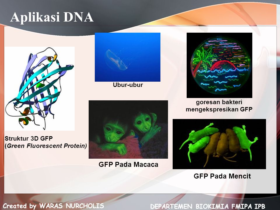 goresan bakteri mengekspresikan GFP DEPARTEMEN BIOKIMIA FMIPA IPB