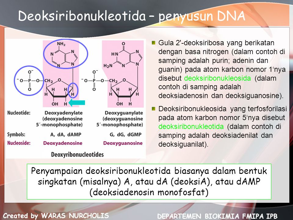 Deoksiribonukleotida – penyusun DNA