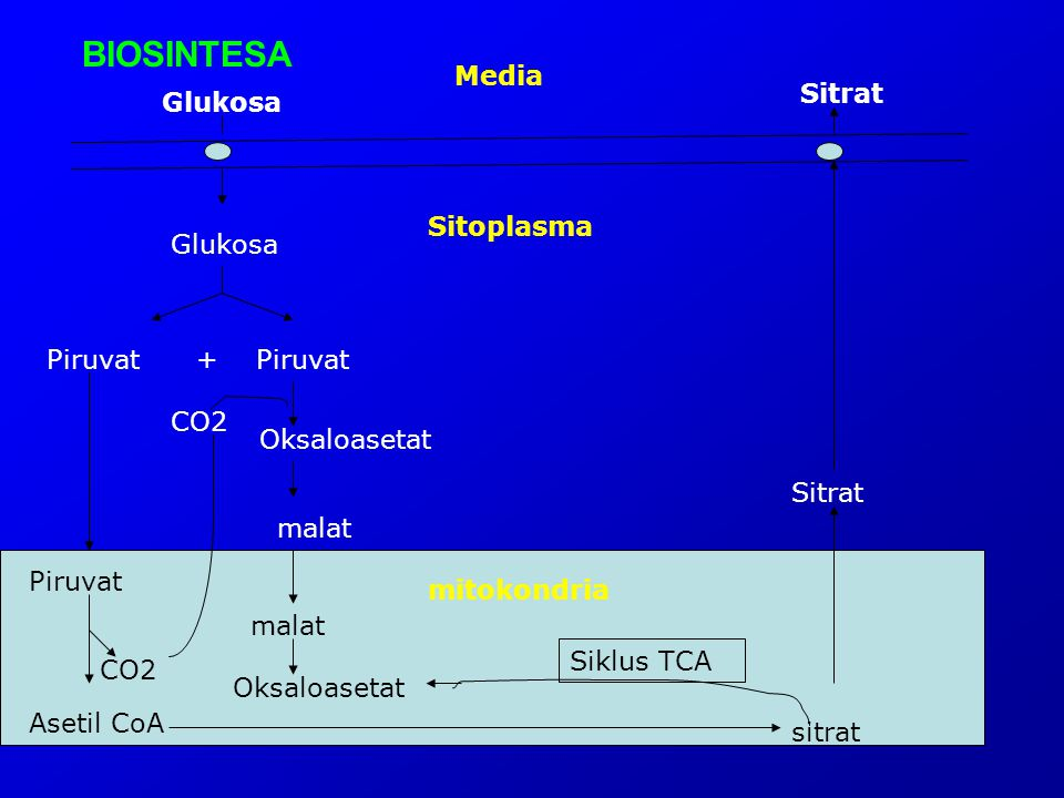 BIOSINTESA Media Sitrat Glukosa Sitoplasma Glukosa Piruvat + Piruvat
