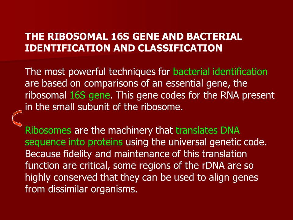 THE RIBOSOMAL 16S GENE AND BACTERIAL