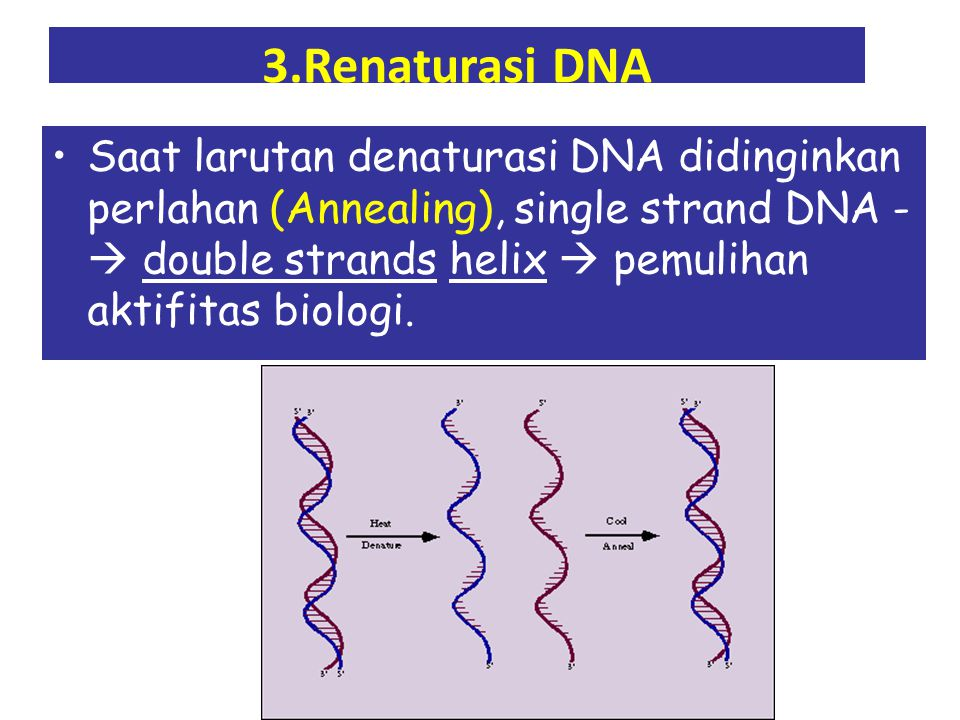 3.Renaturasi DNA