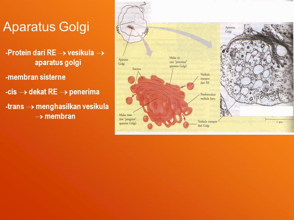 Aparatus Golgi -Protein dari RE  vesikula  aparatus golgi