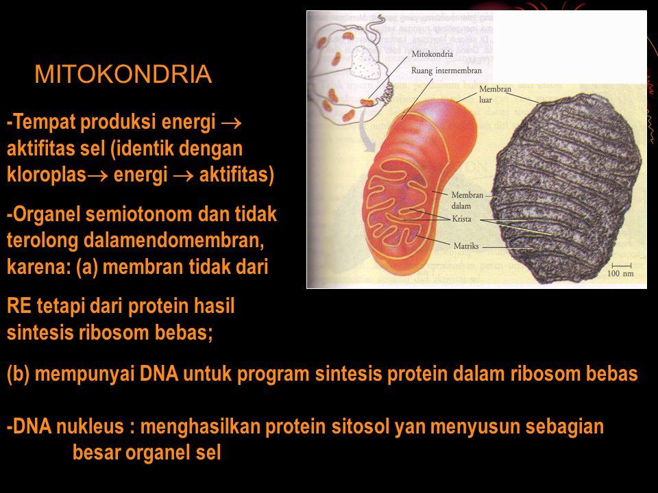 MITOKONDRIA -Tempat produksi energi  aktifitas sel (identik dengan kloroplas energi  aktifitas)