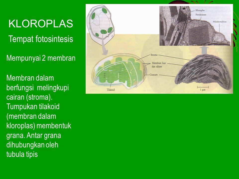 KLOROPLAS Tempat fotosintesis Mempunyai 2 membran