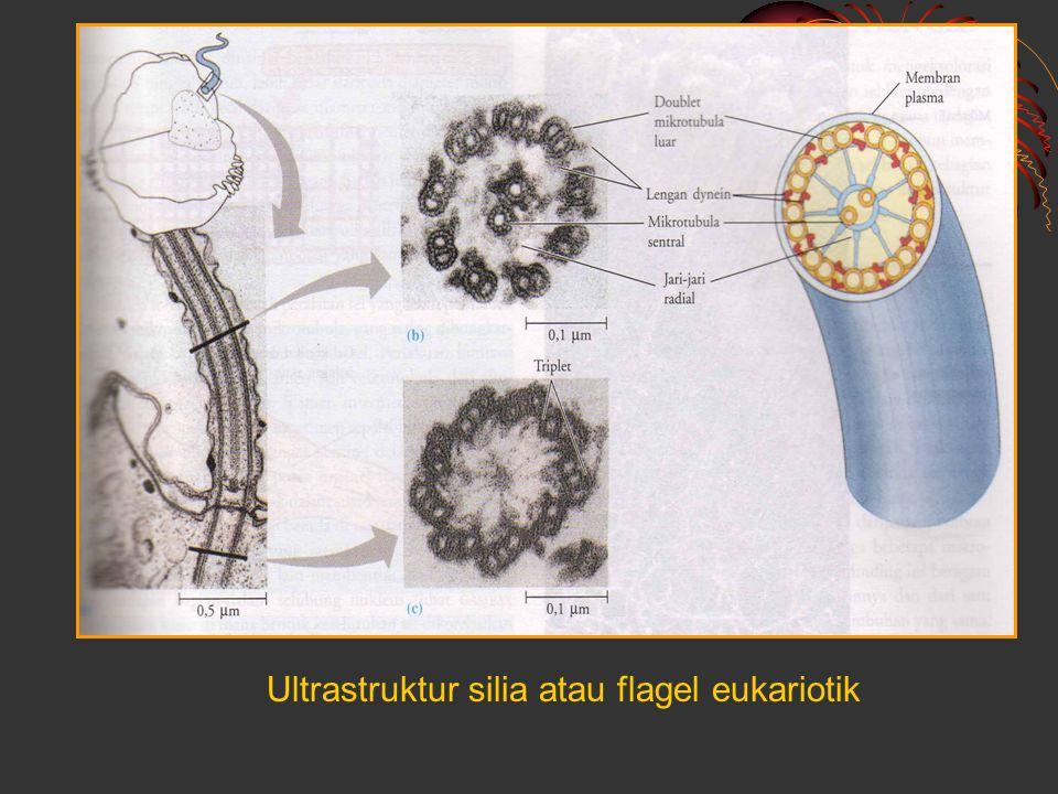 Ultrastruktur silia atau flagel eukariotik