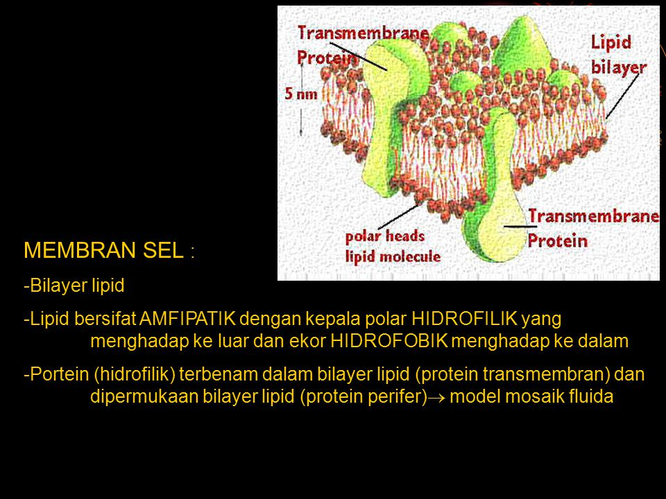 MEMBRAN SEL : -Bilayer lipid