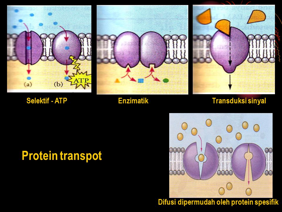 Protein transpot Selektif - ATP Enzimatik Transduksi sinyal