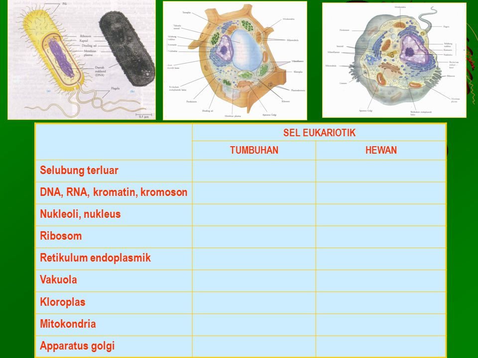 DNA, RNA, kromatin, kromoson Nukleoli, nukleus Ribosom