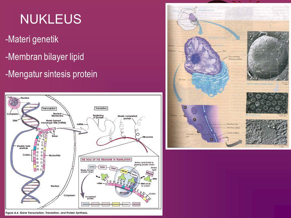 NUKLEUS -Materi genetik -Membran bilayer lipid
