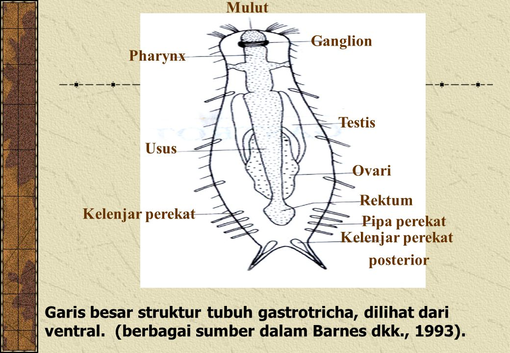 Mulut Ganglion. Pharynx. Testis. Usus. Ovari. Rektum. Kelenjar perekat. Pipa perekat. Kelenjar perekat.