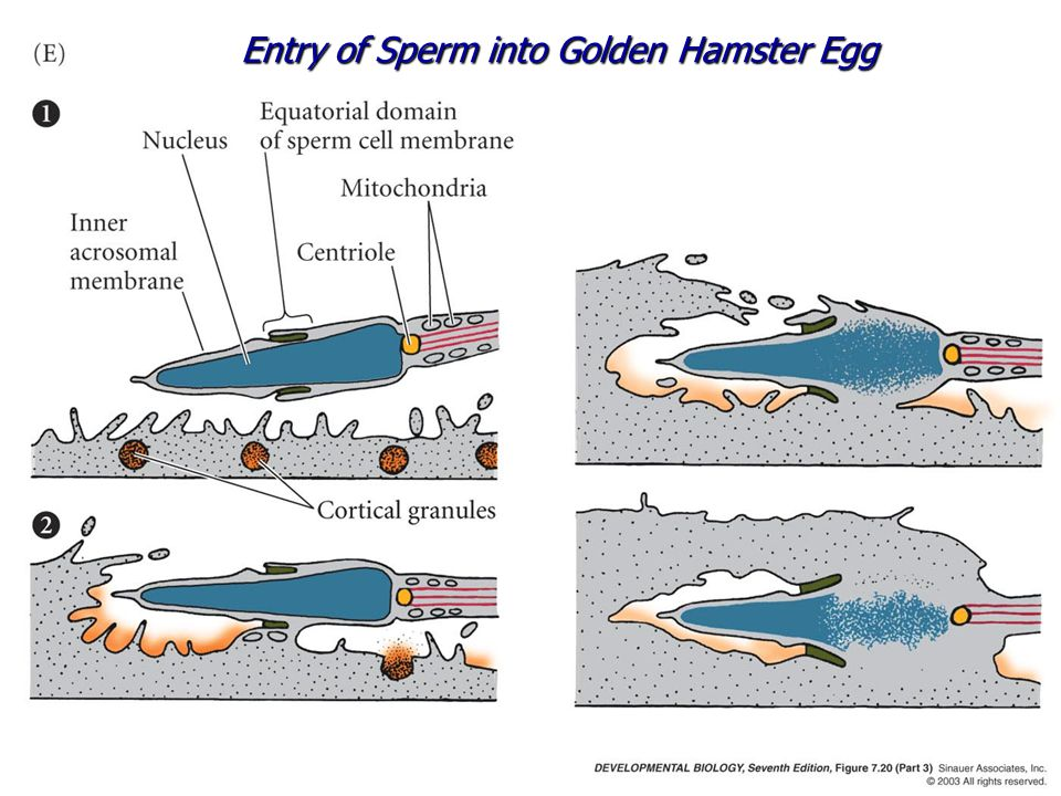 Entry of Sperm into Golden Hamster Egg