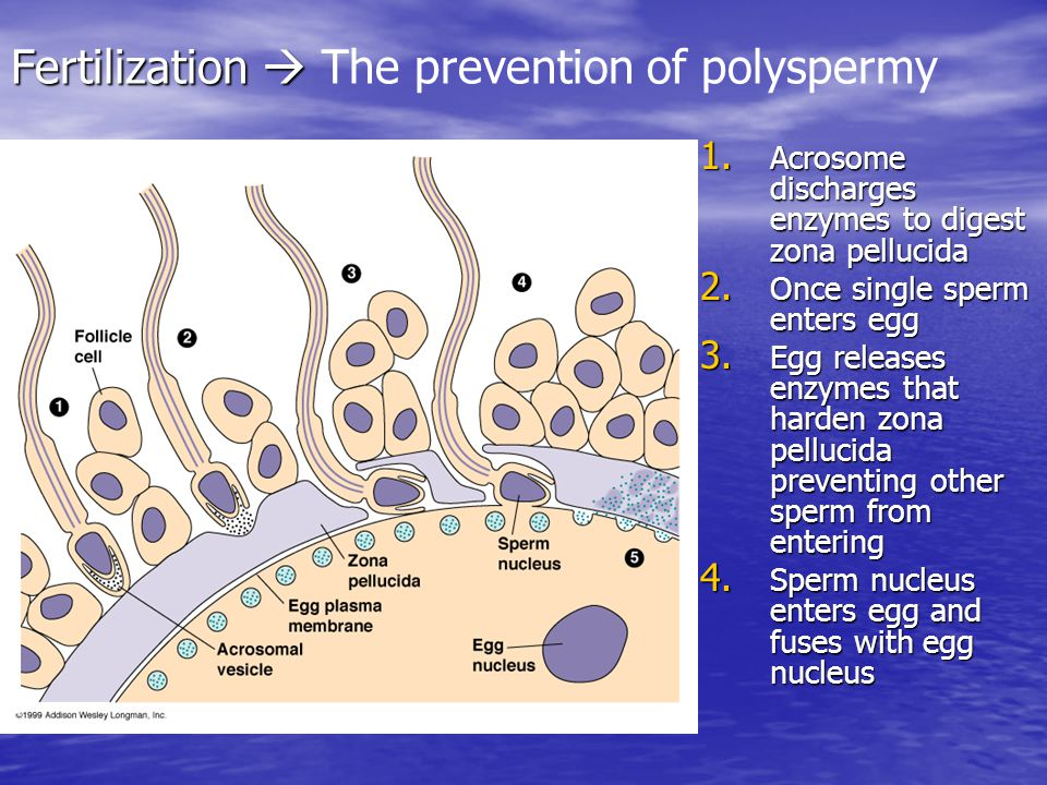 Fertilization  The prevention of polyspermy
