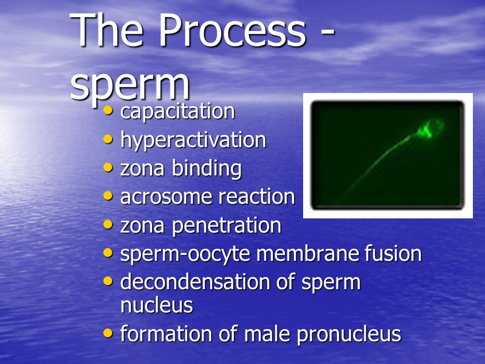 The Process - sperm capacitation hyperactivation zona binding
