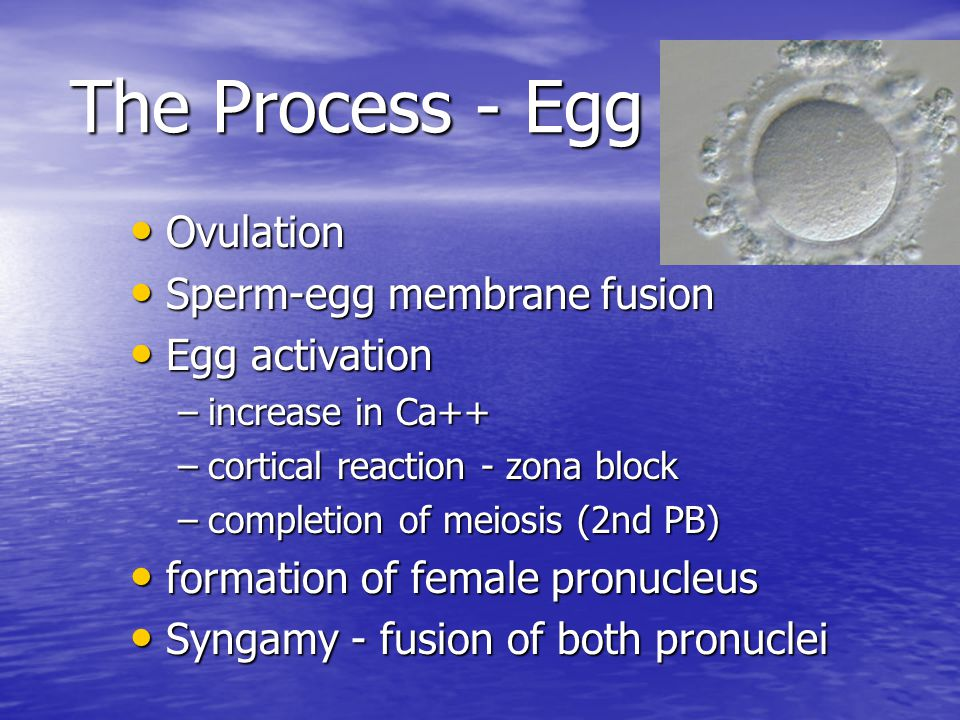 The Process - Egg Ovulation Sperm-egg membrane fusion Egg activation