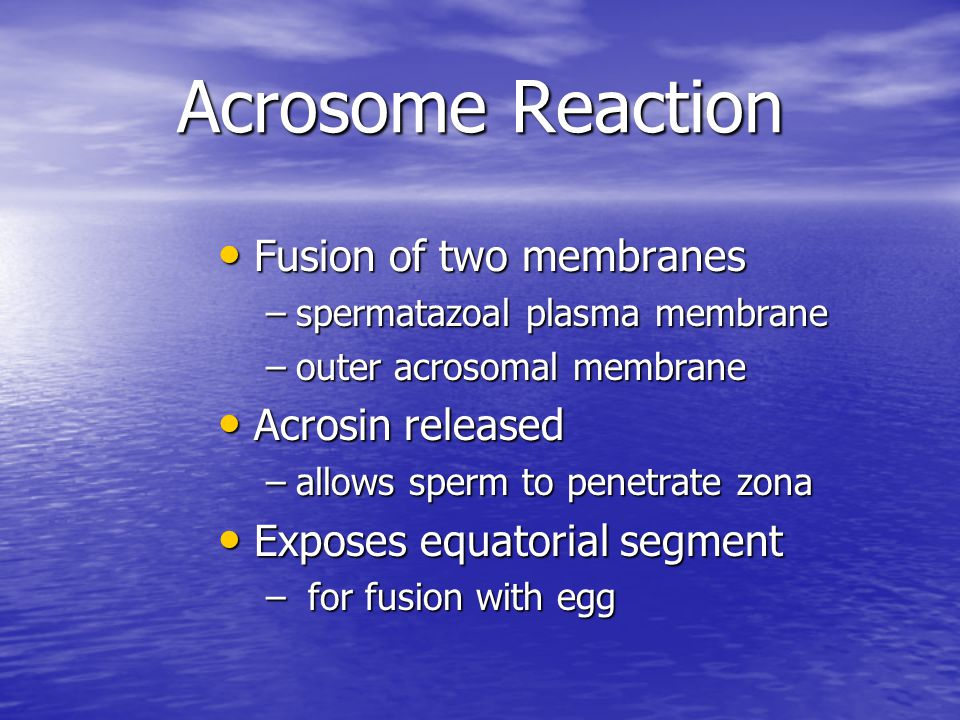 Acrosome Reaction Fusion of two membranes Acrosin released