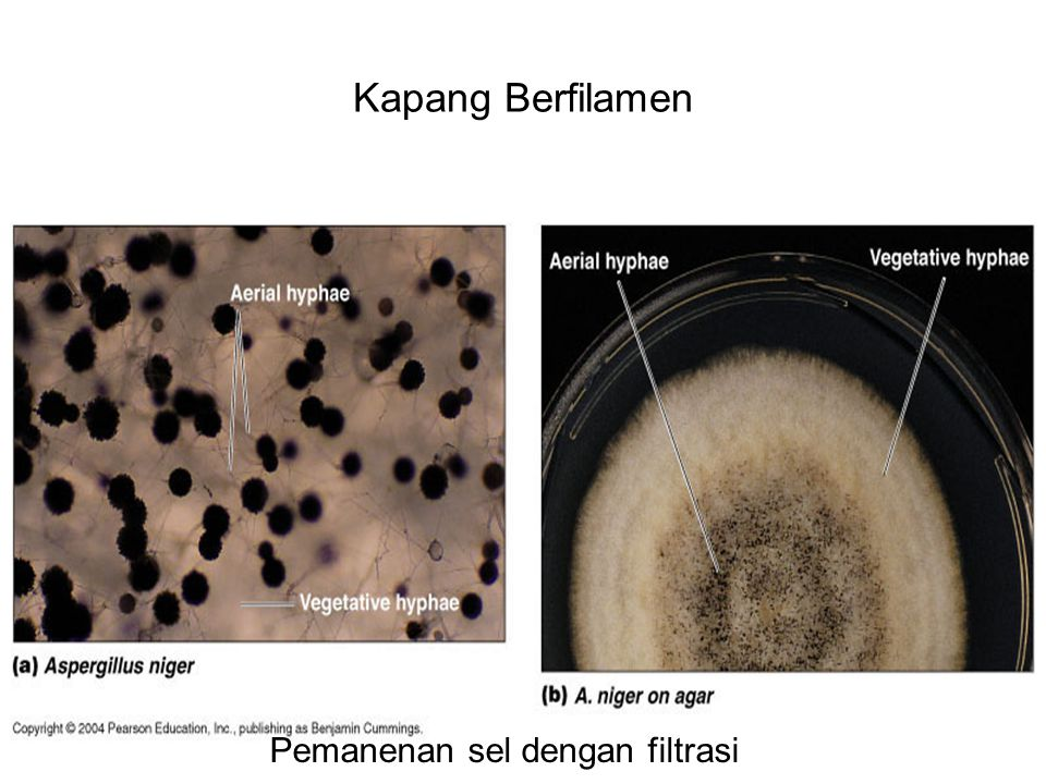 Kapang Berfilamen Pemanenan sel dengan filtrasi