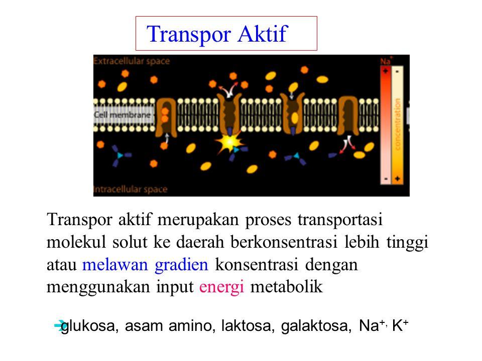 Transpor Aktif ions, glucose, and amino acids.