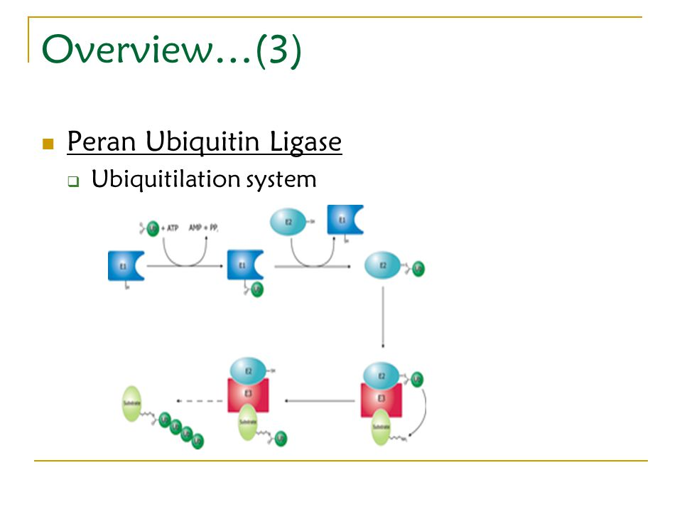 Overview…(3) Peran Ubiquitin Ligase Ubiquitilation system