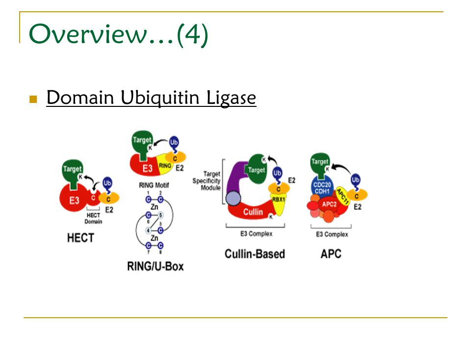 Overview…(4) Domain Ubiquitin Ligase