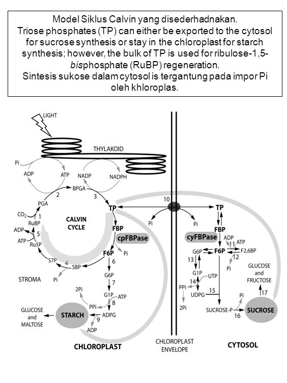 Model Siklus Calvin yang disederhadnakan.