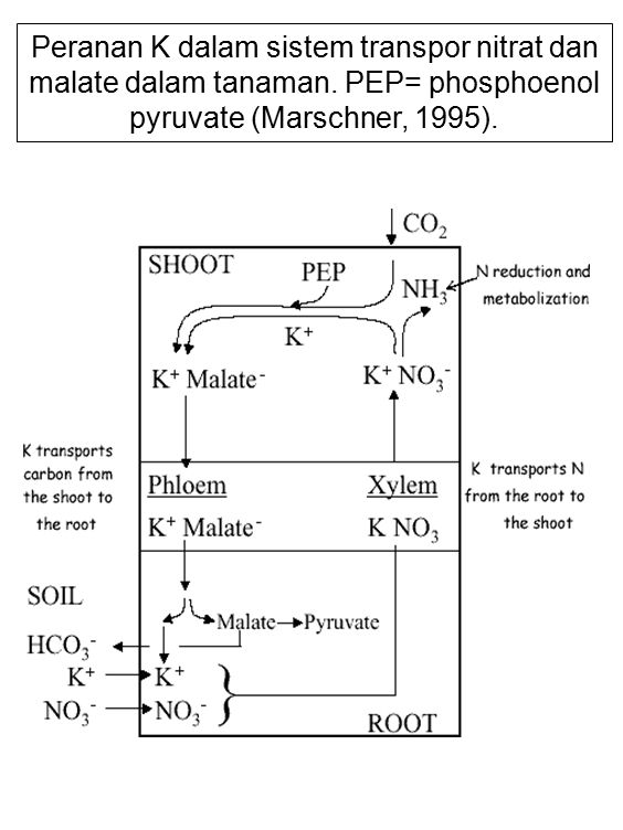 Peranan K dalam sistem transpor nitrat dan malate dalam tanaman