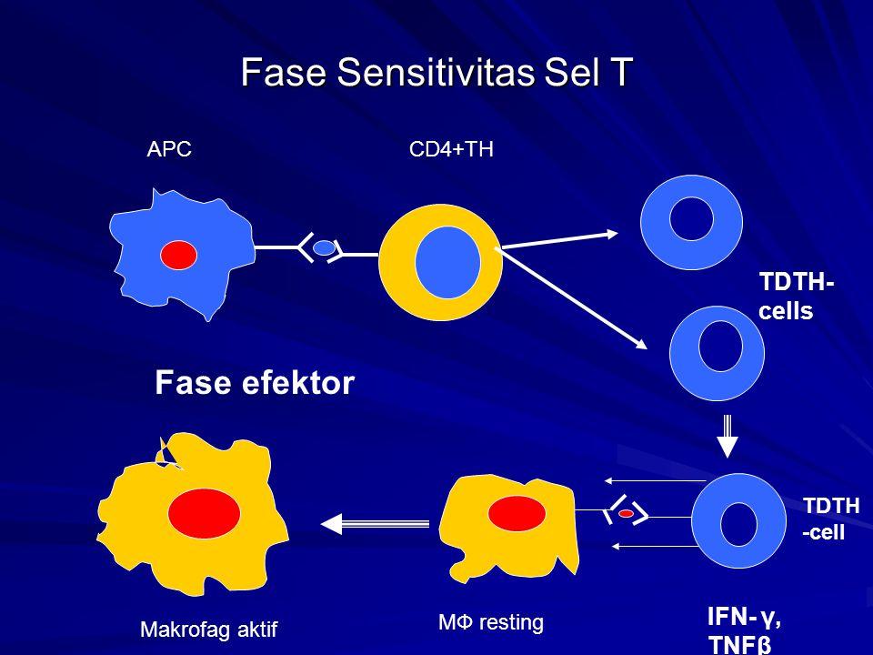 Fase Sensitivitas Sel T