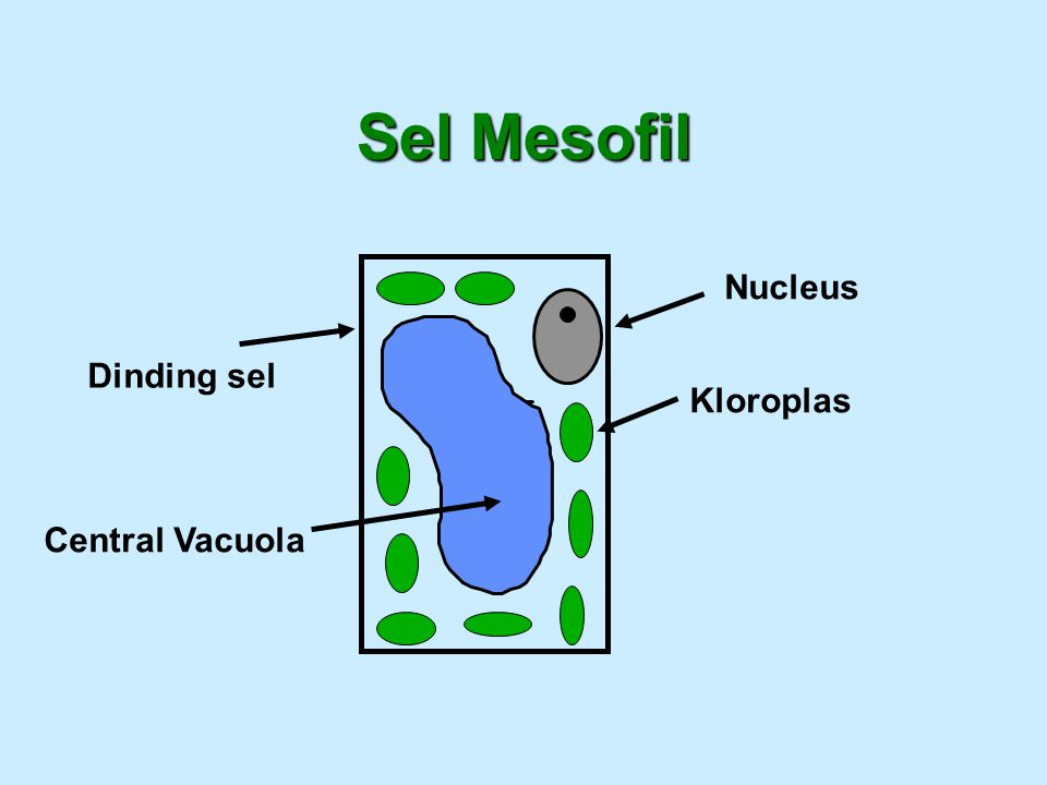Sel Mesofil Nucleus Dinding sel Kloroplas Central Vacuola