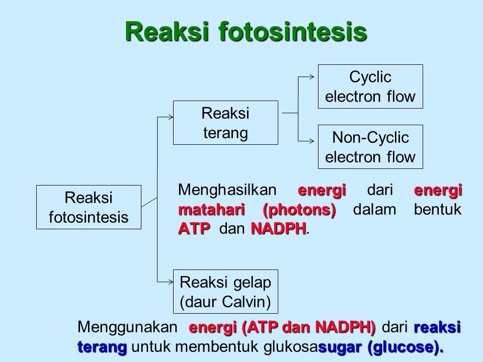 Reaksi fotosintesis Cyclic electron flow Reaksi terang