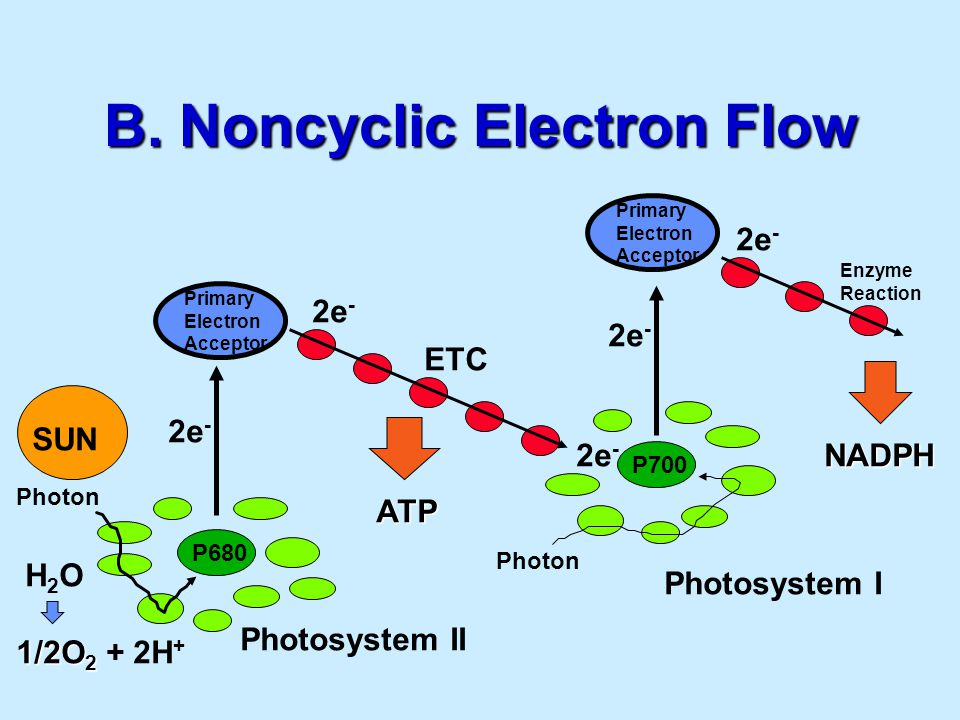 B. Noncyclic Electron Flow