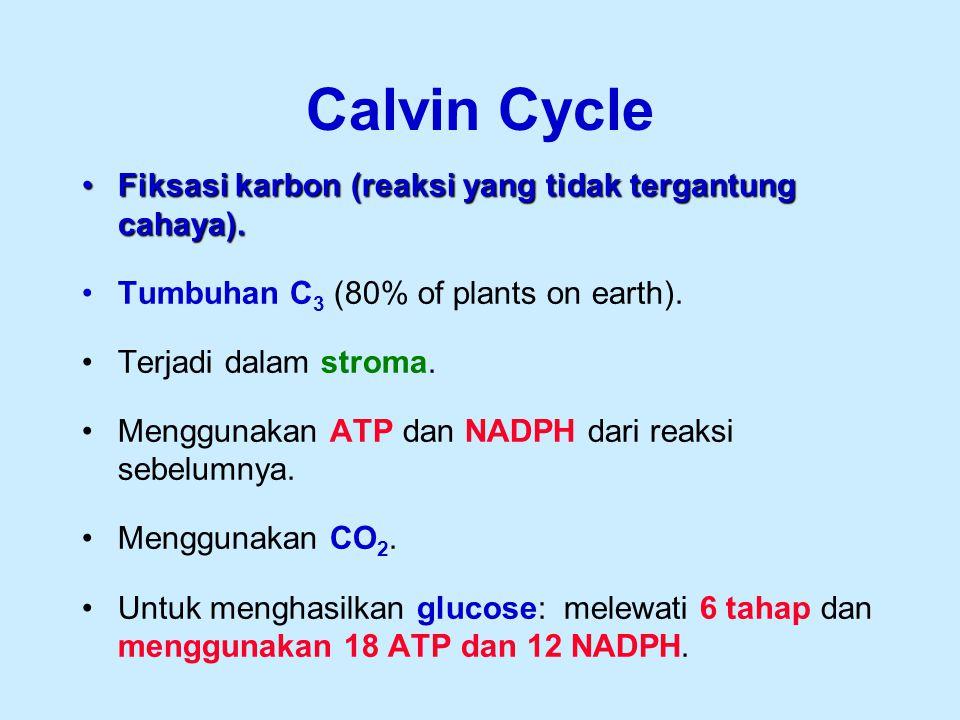 Calvin Cycle Fiksasi karbon (reaksi yang tidak tergantung cahaya).