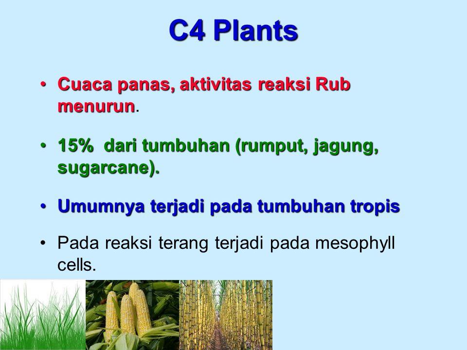 C4 Plants Cuaca panas, aktivitas reaksi Rub menurun.