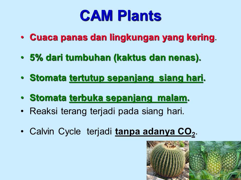 CAM Plants Cuaca panas dan lingkungan yang kering.